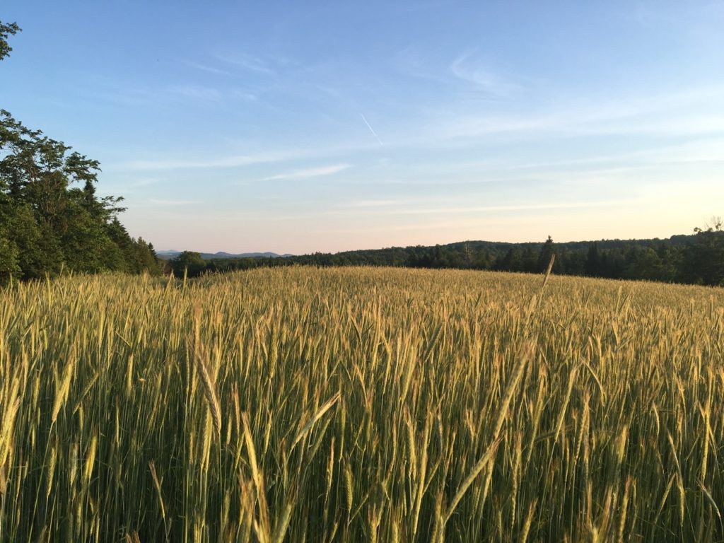looking at harvest in four weeks the mystery of heat degree days and moisture i walked in the rows the winter rye towers above the scattered - Winter Rye